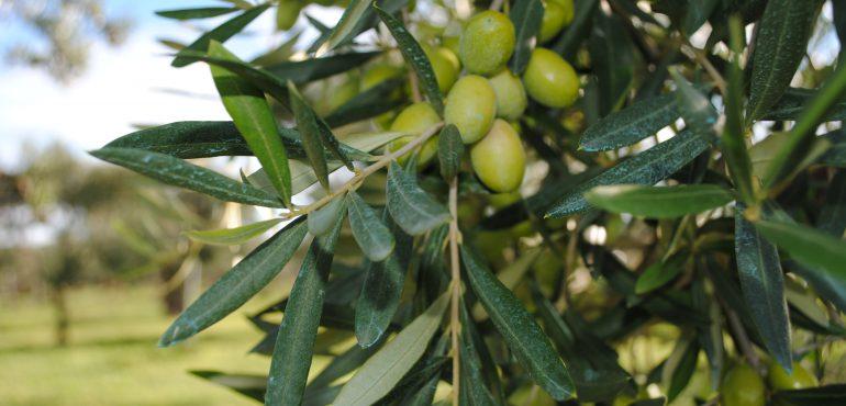 Le proprietà benefiche e il potere dell'olio extravergine d'oliva