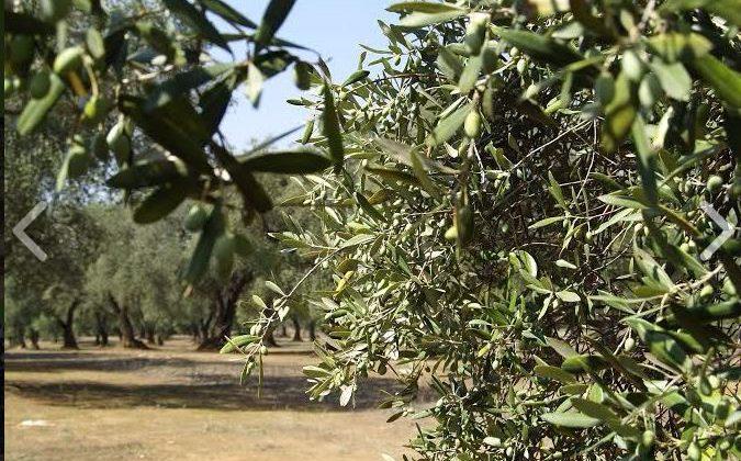 Olio Extravergine d'oliva Pugliese – Azienda Agricola di Giuseppe De Filippis